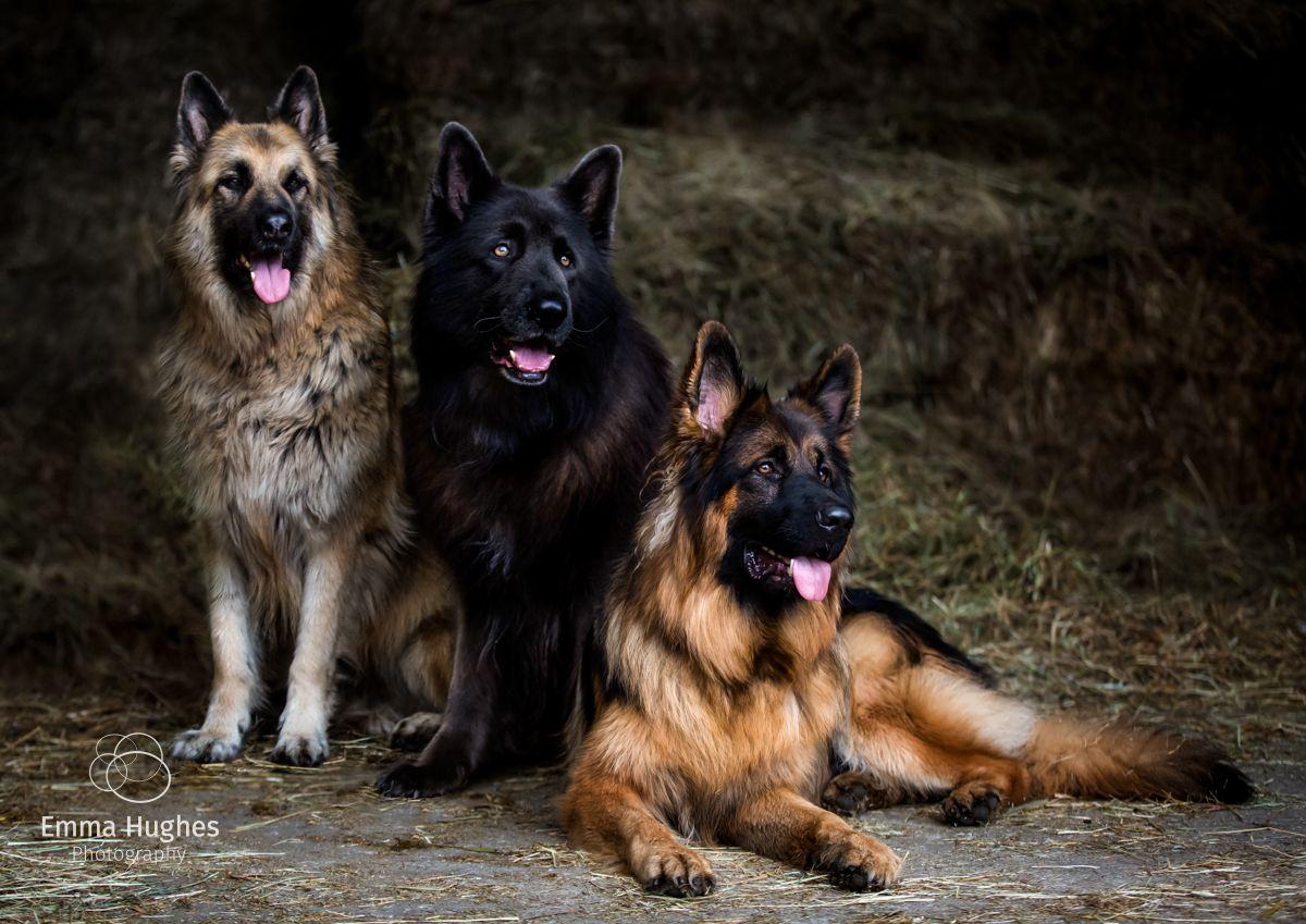 German Shepherd dogs animal only photoshoot in Hersham Surrey